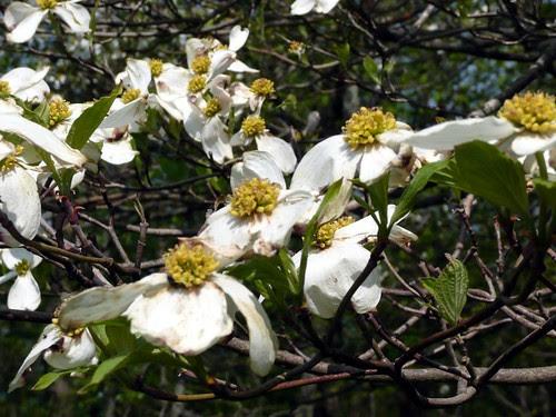 Dogwood Blossoms by RV Bob