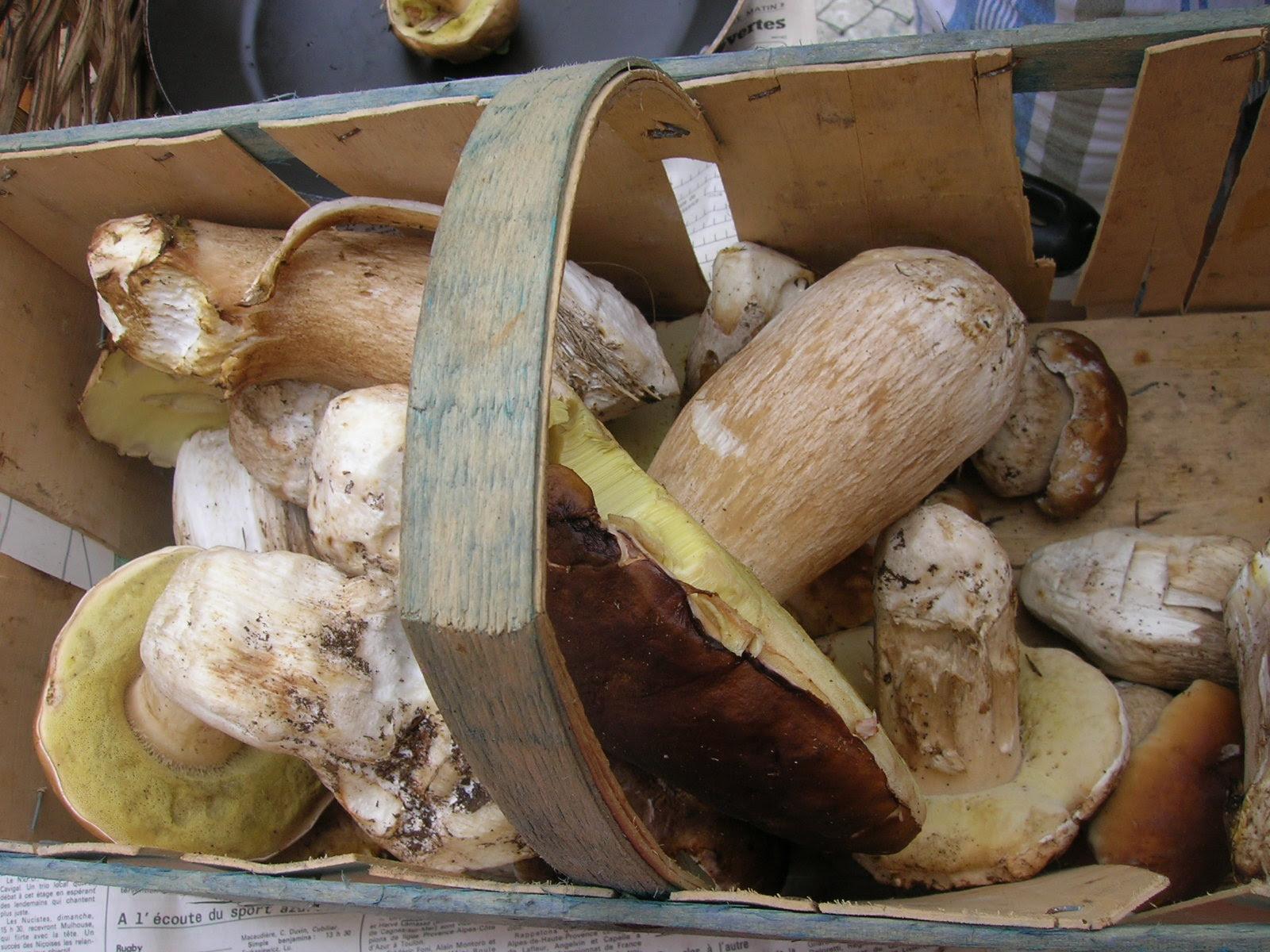 Champignons : récolte de cèpes de Bordeaux - boletus edulis