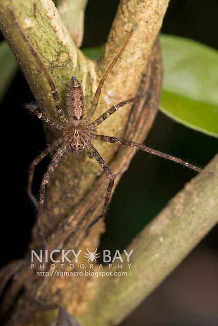 Nursery Web Spider (Pisauridae) - DSC_4344