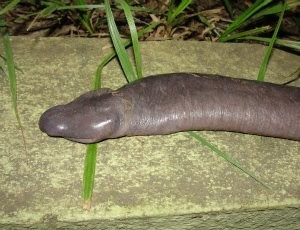 Anfíbio é chamado de cobra mole (Foto: Juliano Tupan/Divulgação)