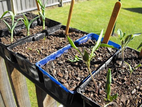 Day 32 - Noah (snowpeas, corn, capsicum, basil, tomato)