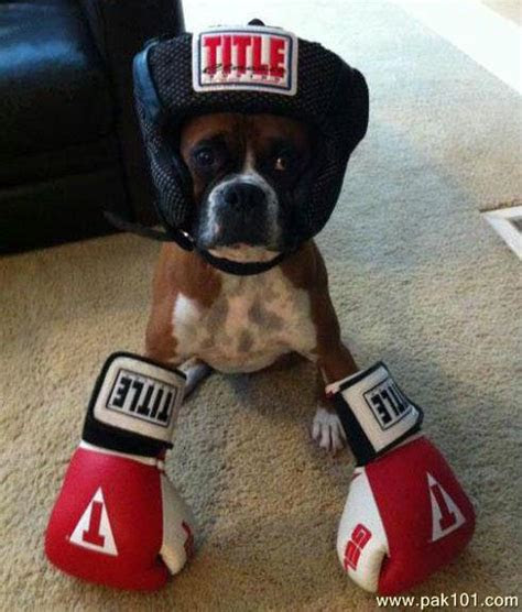 funny picture funny boxer dog pakcom