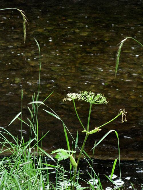 wild celery and more near Son-i-Hat Creek, Kasaan, Alaska