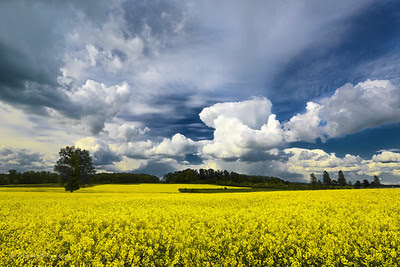 Lone Tree in Yellow Fields Under Cloud Cover in Northern France - John Brody Photography - johnbrody.blogspot.com - johnbrody - JohnBrody.com - John Brody - JohnBrodyPhotography