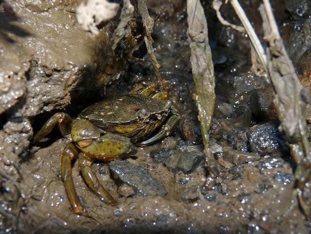 25102 - Crab, Llangennech Marsh