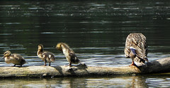 Canada day paddle, duck and ducklings