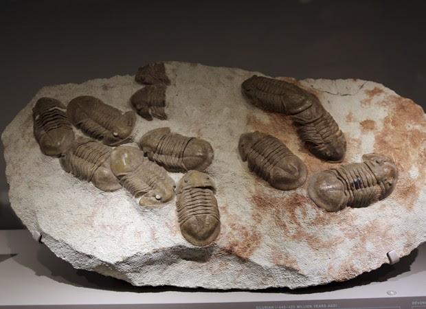 Grupo de trilobitas apresentado pelo Museu Americano de História Natural. Entre os fósseis há espécimes encontrados em Nova York, no Marrocos e na Rússia, afirma a agência de notícias Associated Press. Os restos dos animais fazem parte de uma exposição te (Foto: Mary Altaffer/AP)