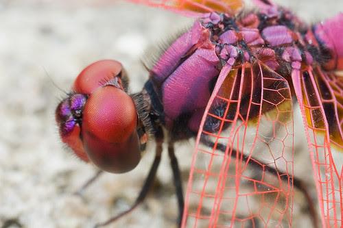 male dragonfly Crimson dropwing, Trithemis aurora IMG_0956 copy