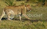 Buaya Sial abis dibantai induk Singa!
