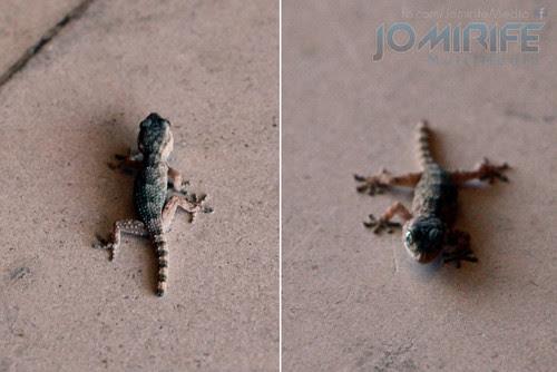 Osga [en] Gecko