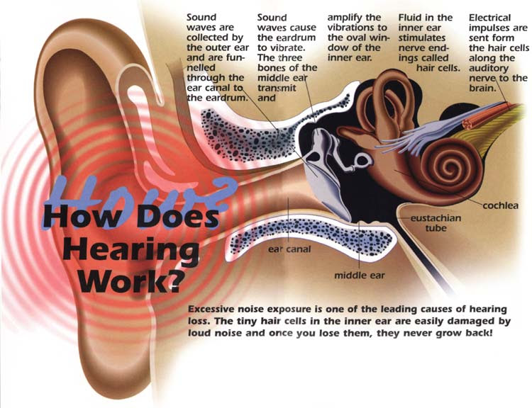How your hearing works and why exposure to noise levels ...