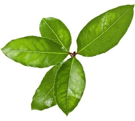 How to Christmas ? Flowers Laurel leaf 144857839