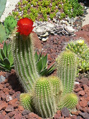 Blooming cactus at US Botanic Garden