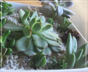 多肉植物、かわいー♪