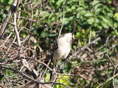 mockingbird neck