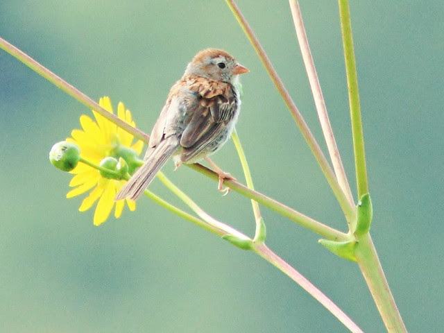 Field Sparrow molting 20130812