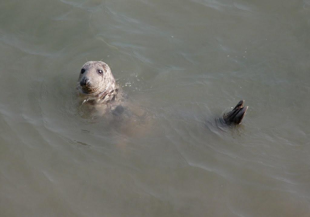 23951 - Grey Seal, Worms Head, Rhossili, Gower