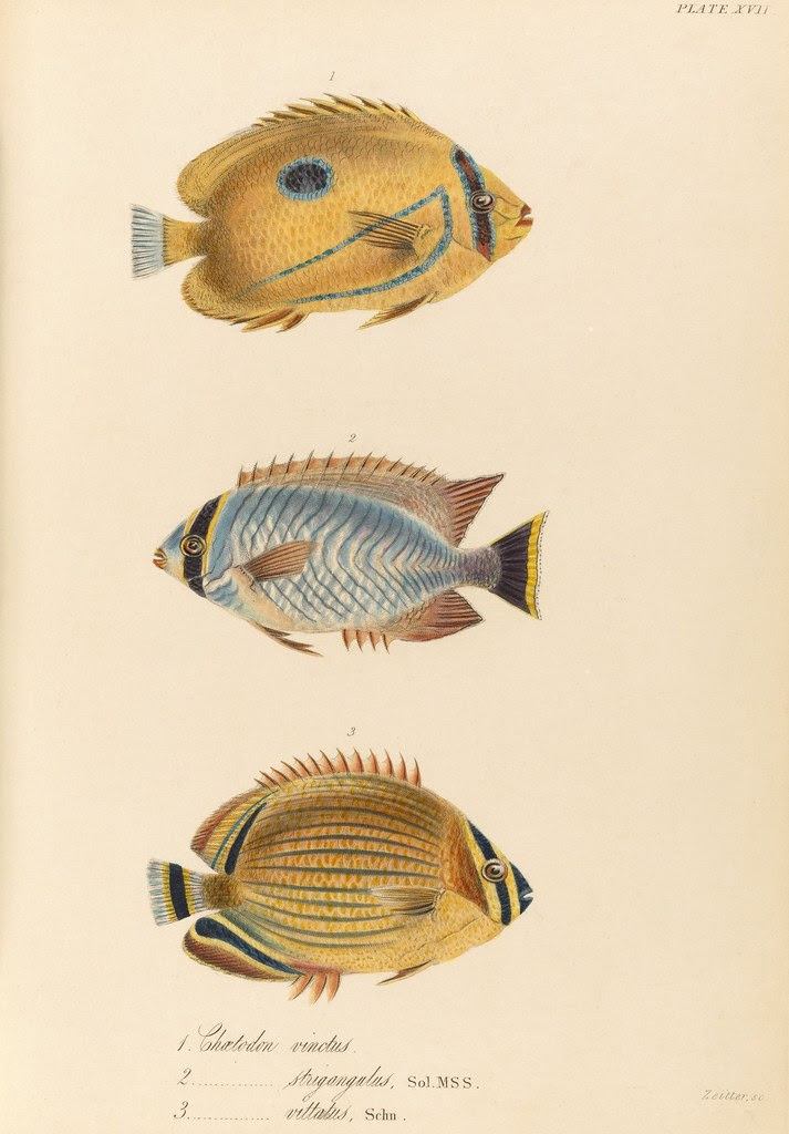 1820s zoology of Captain Beechey - Chaetodon spp.