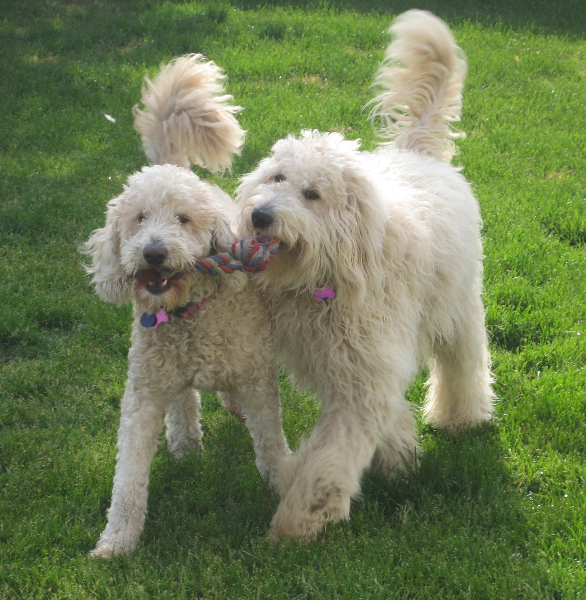Goldendoodle  Puppies, Rescue, Pictures, Information, Temperament, Characteristics  Animals Breeds