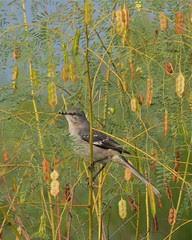 Northern Mockingbird in Rattlebush