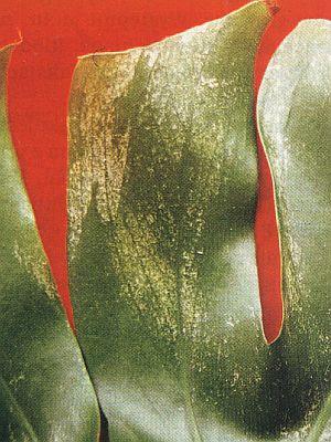 Thysanoptera
