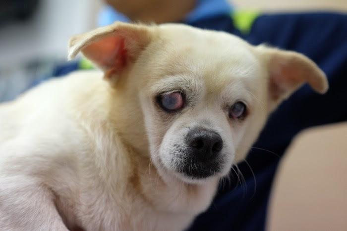 可憐的混種西施犬已全盲,慘被繁殖場當作生育工具。