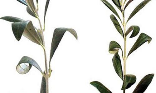 Olive Bud Mite Oxycenus Maxwelli