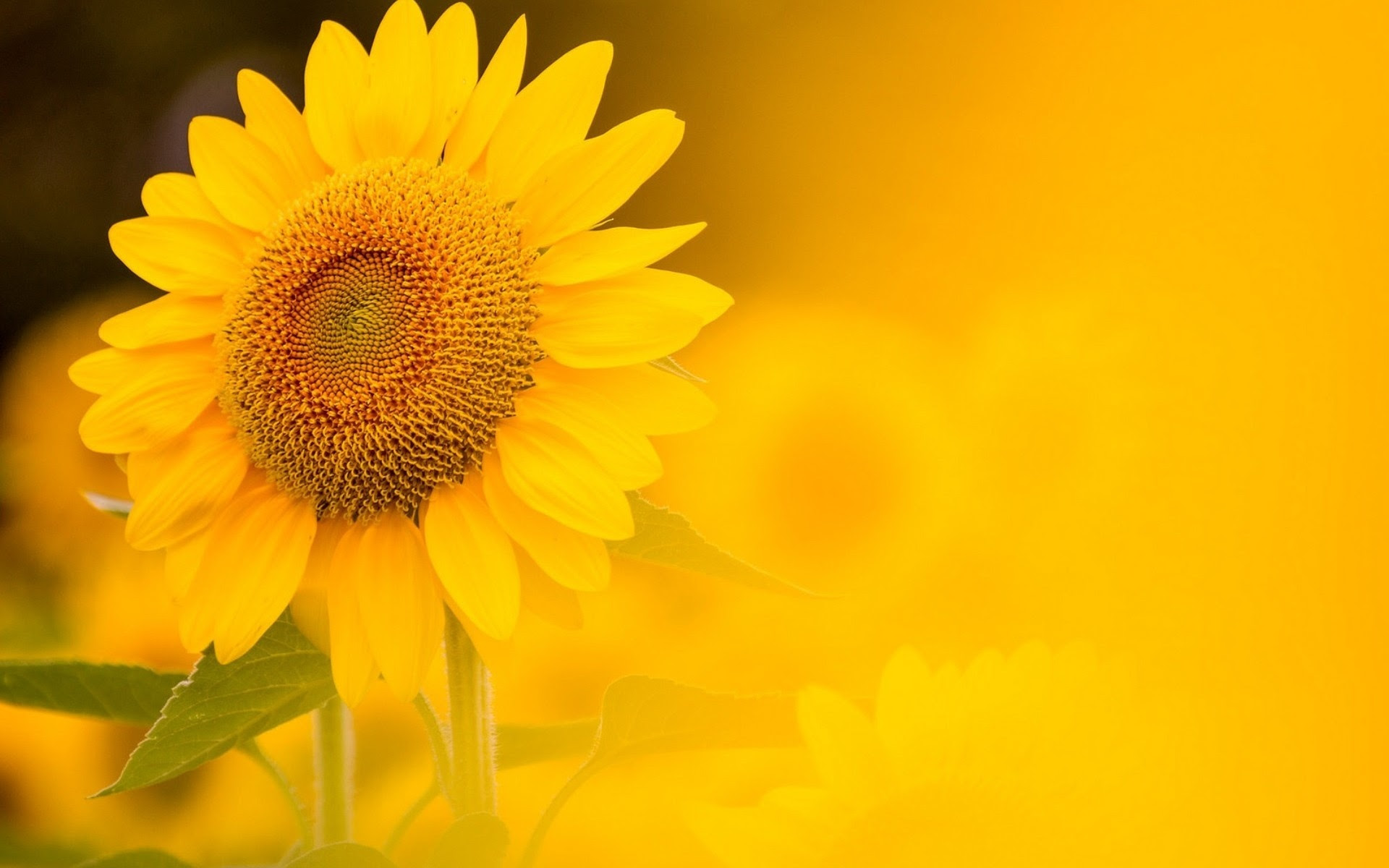 Sunflower Yellow Background Wallpapers - 1920x1200 - 335950