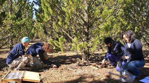Recogiendo muestras de hojarasca de ciprés en la parcela del proyecto CypFire.