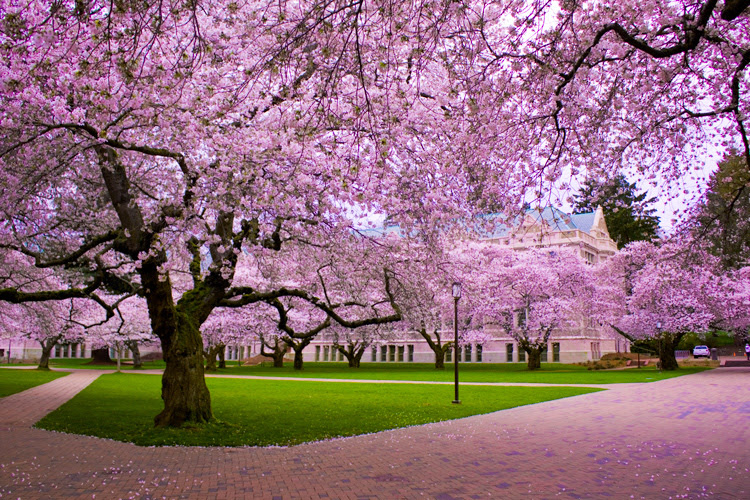 Trees Images Cherry Blossom Tree Hd Wallpaper And Background Photos