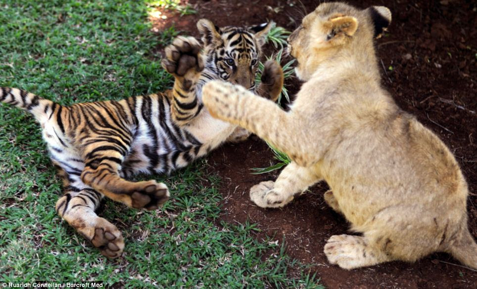Leader: Bella the tiger, is five months and is the leader of the pack, while the three lions, Delano, Romeo and Maximus, are also five months