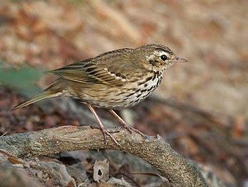 English: Olive-backed Pipit Anthus hodgsoni in...