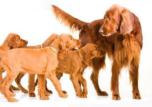 Pug Puppies Stock Photoweaning Puppyweek English Bulldog Puppy Sitting