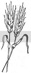 Scan_Pic0110.jpg wheat_clipart picture by sarahjmorriss