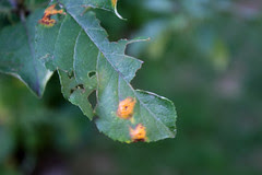 apple diseases (3)