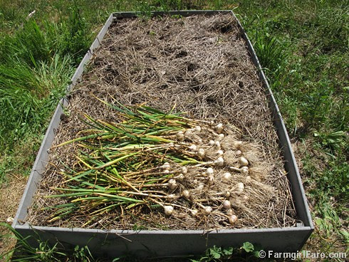 How to grow garlic (7) - harvesting the garlic bed on 6-6-12, a few weeks earlier than most years because of the spring heat and drought - FarmgirlFare.com