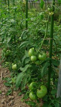 トマト植え付けから44日目