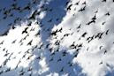 Dozens of birds fall from the sky like 'a horror movie.' They were poisoned, experts say
