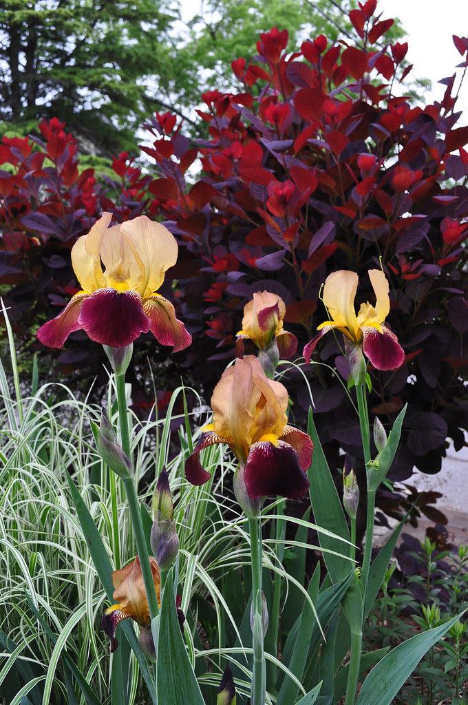 Amber and Burgundy Iris by Royal Purple Smoke Tree (2)