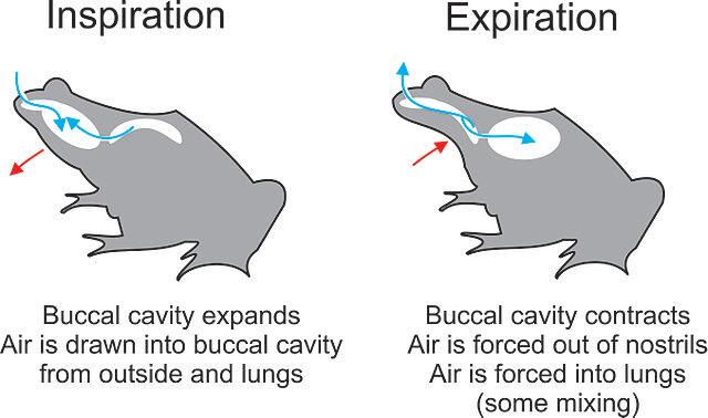 buccal pumping