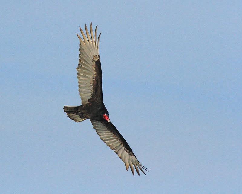 IMG_5650 Turkey Vulture