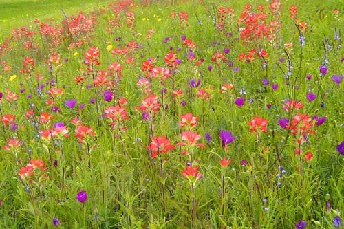 Wildflowers in Keene Texas