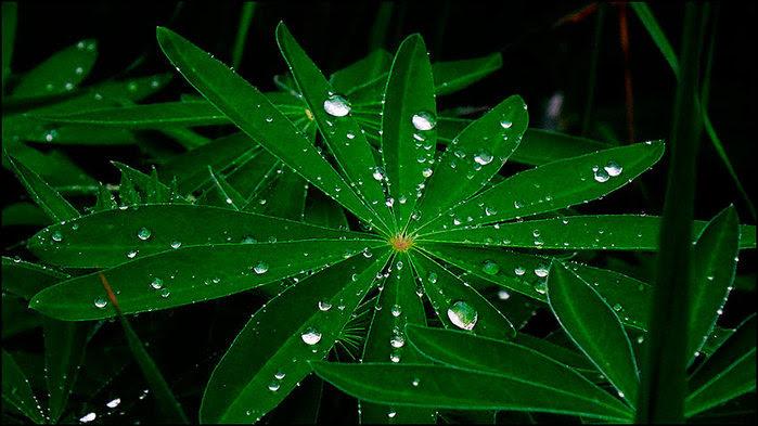 Капли дождя на листьях/3673959_4 (700x393, 79Kb)