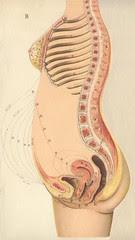 anatomere b