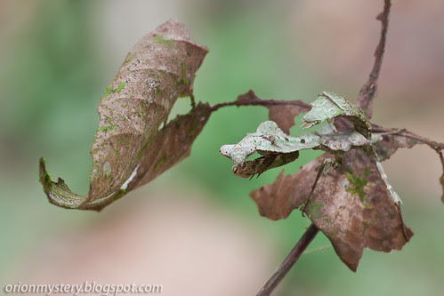 female dead leaf mantis, Deroplatys labataIMG_6021 copy