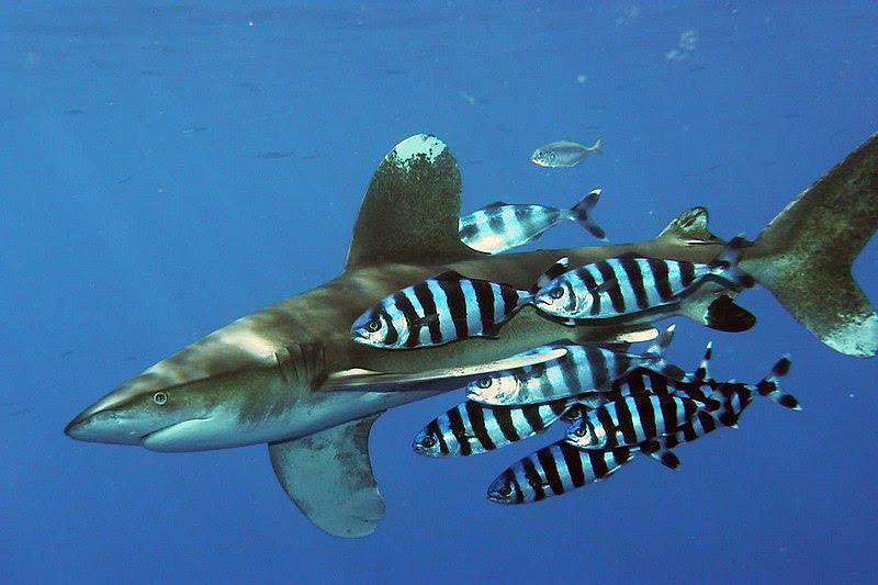 File:Carcharhinus longimanus 1.jpg