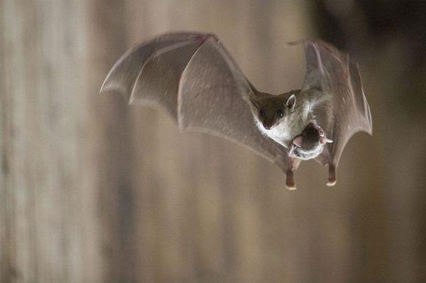 Um morcego jovem e sua mãe (Foto: Gilad Guy)