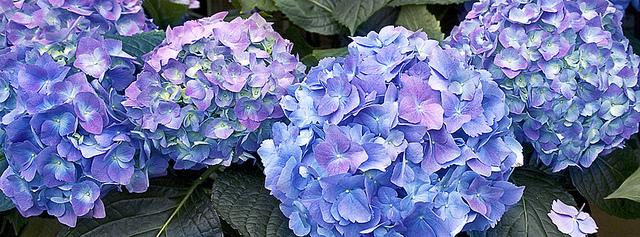blue-pink hydrangea banner
