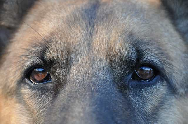 german shepherds face up close
