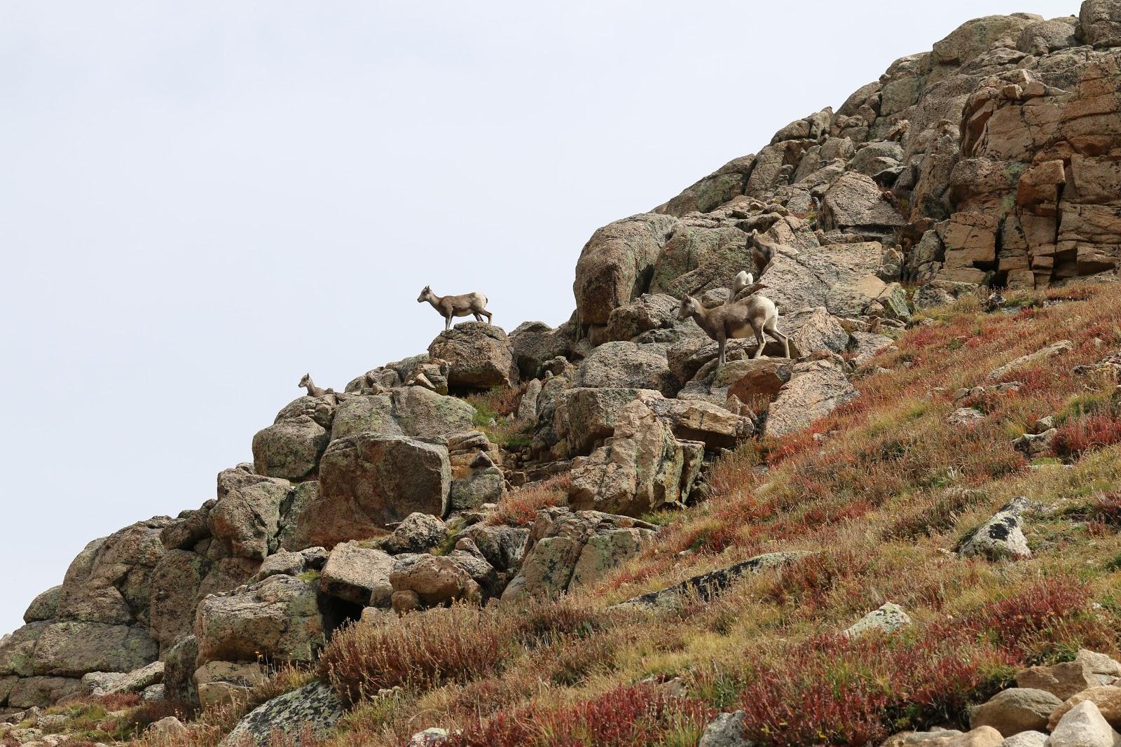 Mt Evans Rocky Mountain Bighorn Sheep